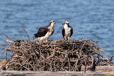 The female and male osprey on the nest.
