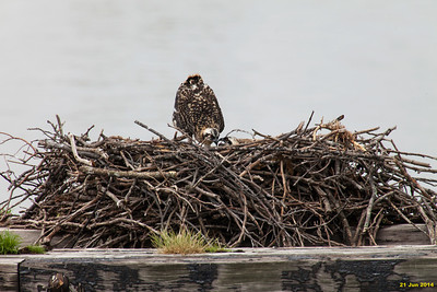 Just a few pics this week.  Didn't crop so the nest could be used as a frame of reference to judge the size of the babies.  They seem to have grown a lot in the last week--feathers beginning to fill out.  Momma osprey left the nest when I approached and stayed about 30 ft away.