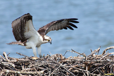 The male osprey delivers a fish for the chicks.
