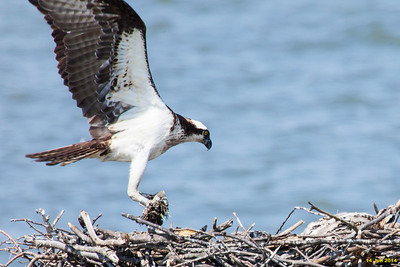Momma osprey binging a clump of grass/dirt.  For nest maintenance maybe?