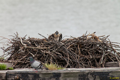 Just a few pics this week.  Didn't crop so the nest could be used as a frame of reference to judge the size of the babies.  They seem to have grown a lot in the last week--feathers beginning to fill out.  Momma osprey left the nest when I approached and stayed about 30 ft away.  The chick now looks bigger than the pigeon.