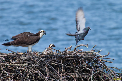 A pigeon does a fly-by while the ospreys are finishing up their fish meal.
