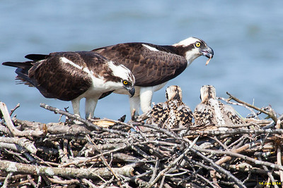 Momma osprey and chicks starting to eat the fish Poppa osprey just delivered.