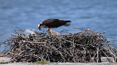 Video of female osprey feeding a fish to her young.