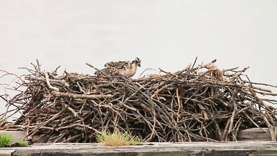A short video this week. Didn't crop so the nest could be used as a frame of reference to judge the size of the babies. They seem to have grown a lot in the last week--feathers beginning to fill out. Momma osprey left the nest when I approached and stayed about 30 ft away. The chick now looks bigger than the pigeon that does a cameo on the lower right.