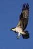 Osprey  IMG_6716dK