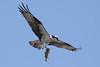 Osprey  IMG_7901dK
