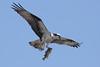 Osprey  IMG_7899dK