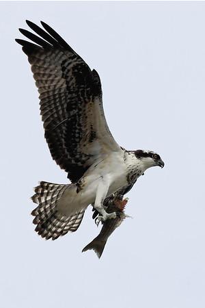 Osprey  IMG_6965dK