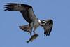 Osprey  IMG_7893dK