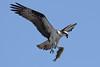 Osprey  IMG_7895dK