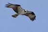 Osprey  IMG_0539dK