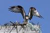 Osprey  IMG_494dK