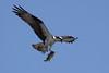 Osprey  IMG_7897dK