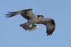 Osprey  IMG_7872dK