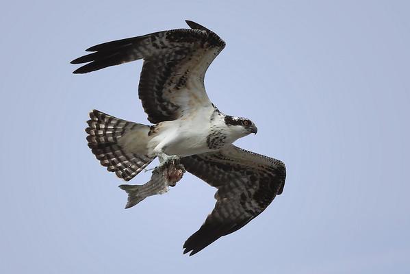 Osprey  IMG_6958dK