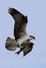 Osprey  IMG_6964dK