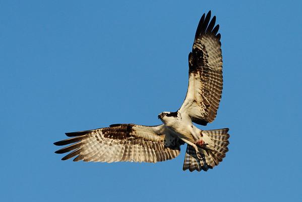 Osprey  IMG_2902_dK