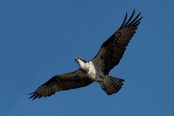 Osprey  IMG_2868_d_aK