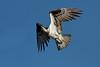 Osprey  IMG_2867_d_aK