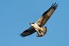Osprey  IMG_2903_d_aK