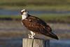 Osprey  IMG_2929_dK
