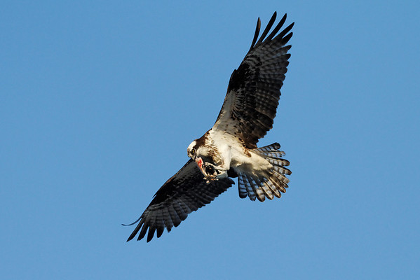 Osprey in flight snack. IMG_2908_dK