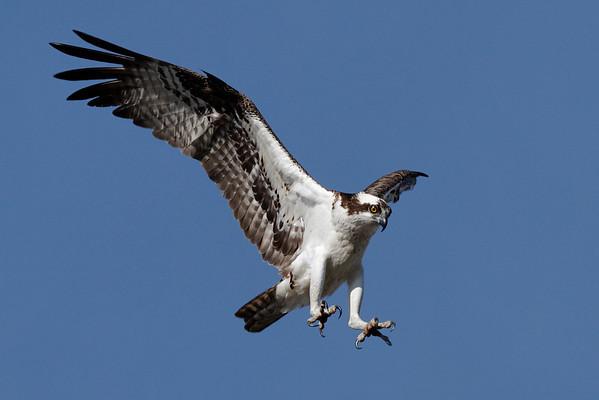 Osprey_5/17/10_IMG_3474_d_aK