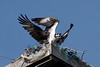 Osprey_5/17/10_IMG_3481_dK