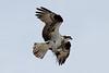 Osprey  IMG_3141_d_aK