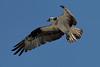 Osprey_5/16/10_IMG_3295_dK