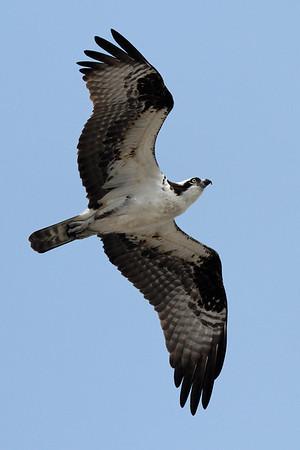 Osprey  IMG_3167_dK