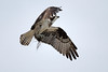 Osprey  IMG_3139_dK