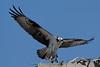 Osprey_5/16/10_IMG_3369_dK