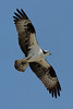 Osprey_5/16/10_IMG_3341_dK