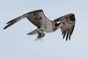 Osprey  IMG_3131_dK