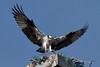 Osprey_5/17/10_IMG_3476_dK