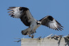 Osprey_5/16/10_IMG_3367_dK