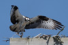 Osprey_5/16/10_IMG_3370_dK