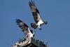 Osprey_5/17/10_IMG_3483_dK