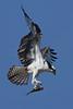 Osprey, Wellfleet, MA 8/28/2010 - IMG_7982dK