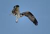 Young osprey in flight  - 8/14/2010 - IMG_7523dK