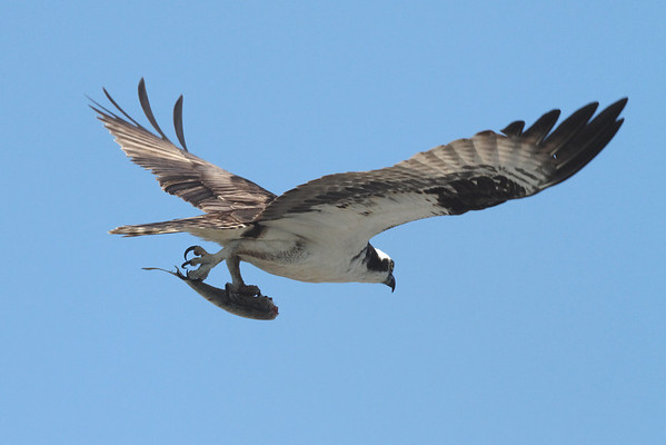 Osprey - Wellfleet, MA - another pass with the same fish...8/27/2010 - IMG_7890dK
