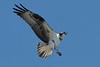 Osprey, Wellfleet, MA 8/28/2010 - IMG_7995dK