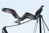 Osprey siblings, Wellfleet harbor  - 8/14/2010 - IMG_7479dK