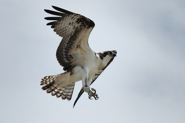 Osprey, Wellfleet, MA - 8/15/2010 - IMG_7672dK