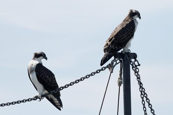 Wellfleet osprey siblings hunting together  - 8/14/2010 - IMG_7461dK