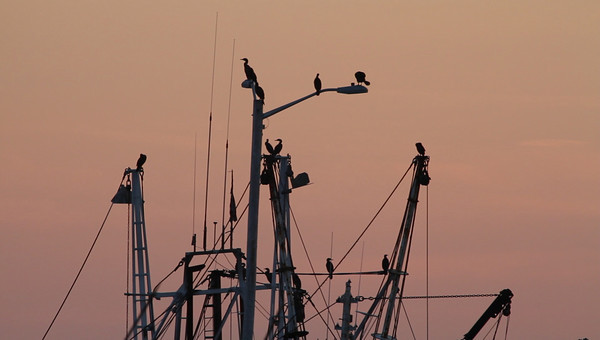I know they're not ospreys but it's a neat silhouette. 8/28/2010 - MVI_8025