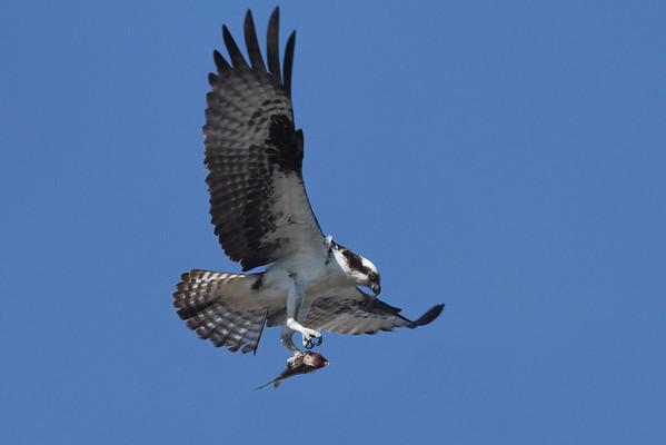 Osprey, Wellfleet, MA 8/28/2010 - IMG_7981d2K