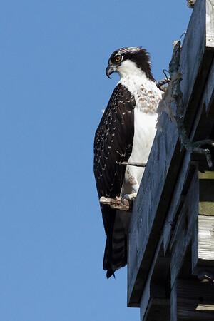 Osprey, Wellfleet, MA - 8/15/2010 - IMG_7604dK